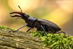 Stag Beetle_4