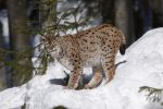 Lynx _13