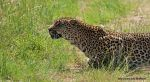 Luipaard_11