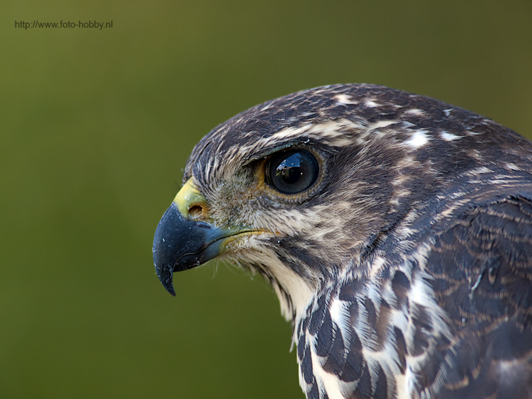 Young Hawk eagle