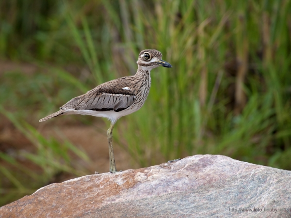 Stone Curlew_6