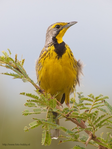 Yellow-Throated Longclaw_54