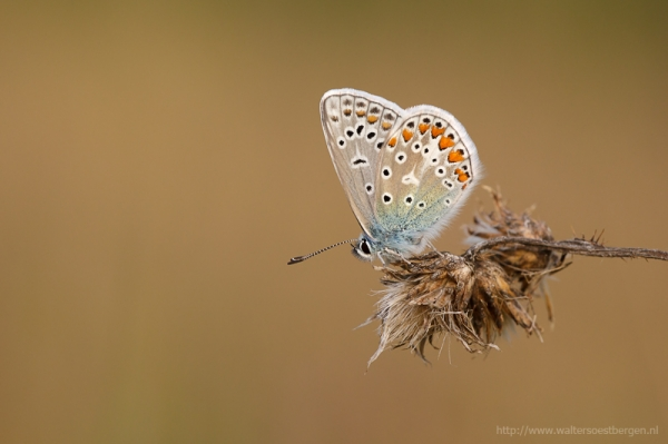 Common Blue_22