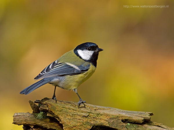 Great tit (UHR)