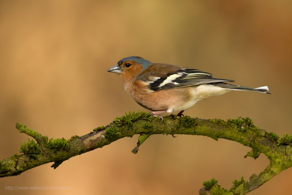 Common Chaffinch (UHR)