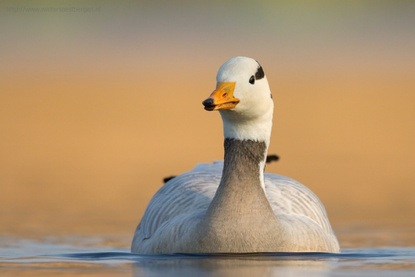 Bar-headed Goose (RWK)