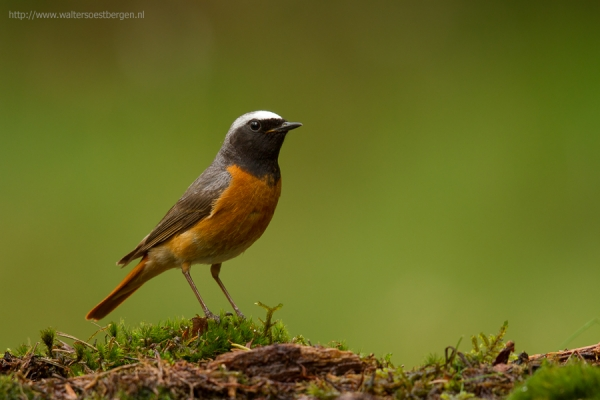 Common Redstart (UHR)
