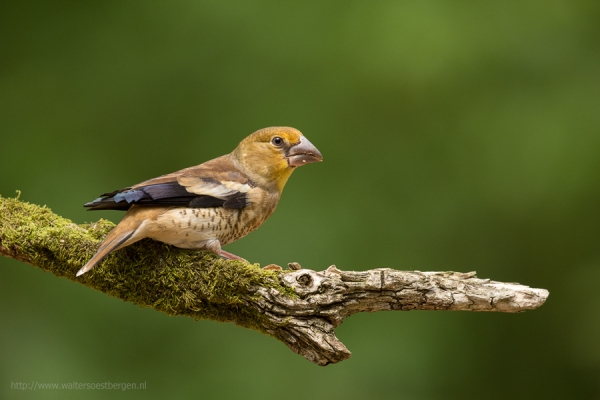 Hawfinch (UHR)