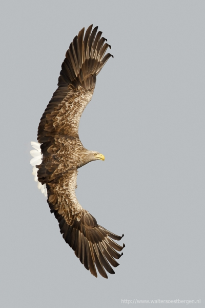 White tailed_eagle_7