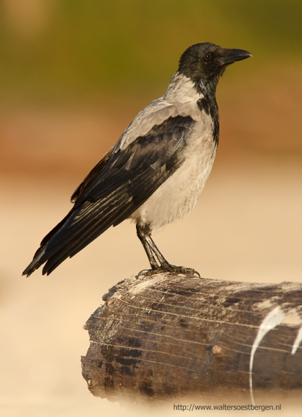 Hooded crow_21