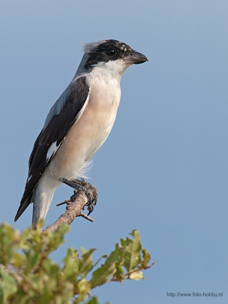 Great Grey Shrike_25