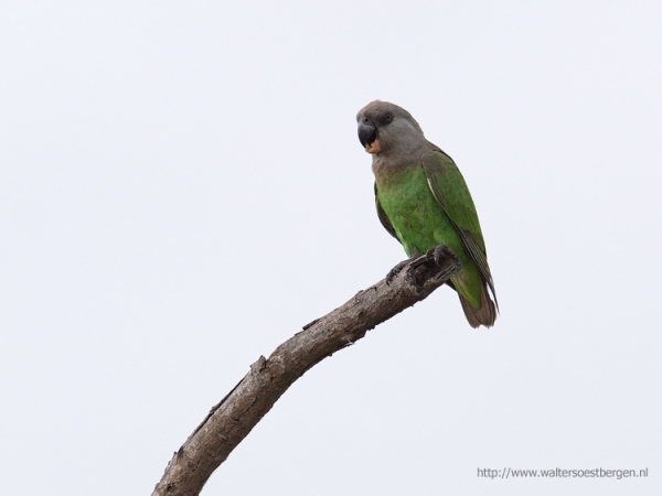 Brown-headed parrot_56