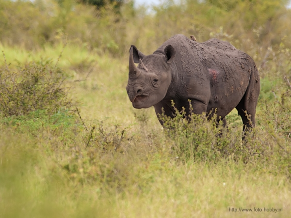 Black Rhinoceros_58