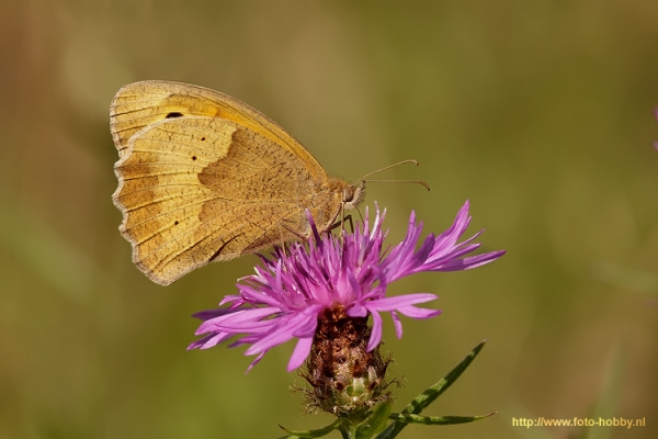 Meadow Brown_15