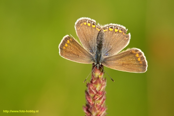 Common Blue_19