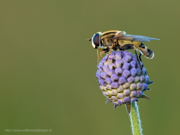 European hoverfly_13