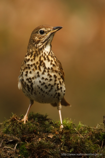 Song Thrush (UHR)