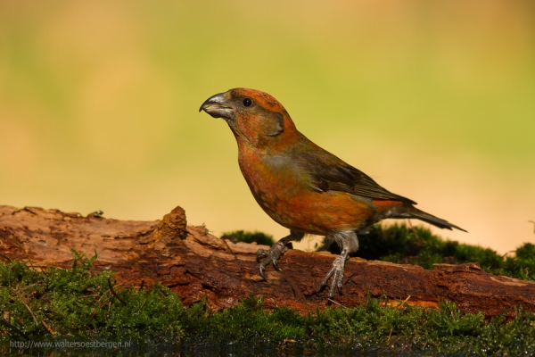 Common Crossbill (UHR)