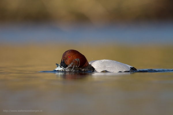 Common Pochard (RWK)
