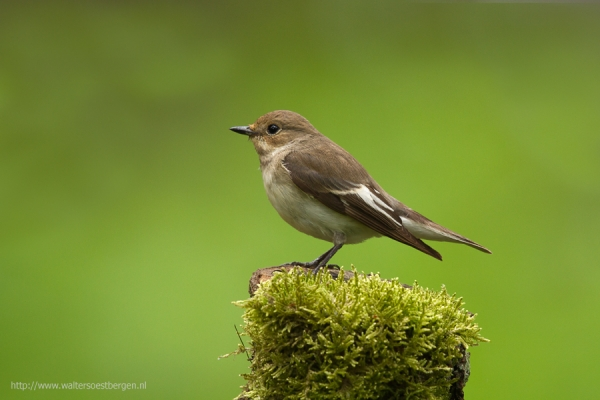 European Pied Flycatcher (UHR)