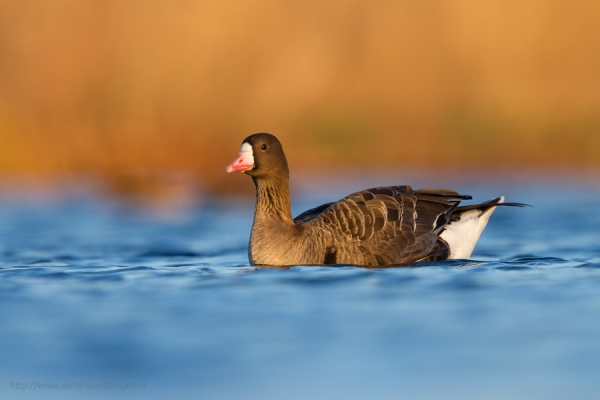 Greater White-fronted Goose (RWK)