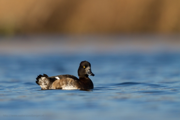 Tufted Duck (RWK)