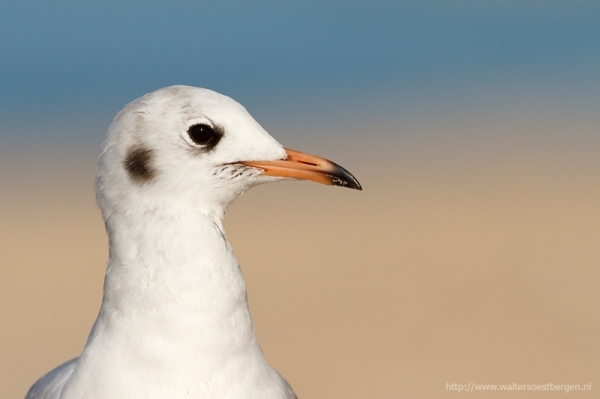 Black Headed gull_18