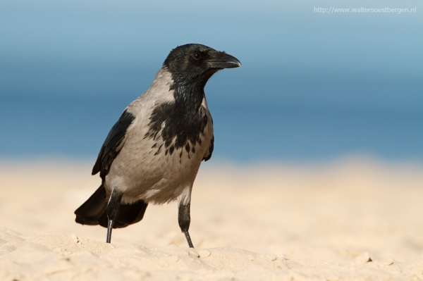Hooded crow_20